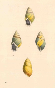 Swainson: Bulimus citrinus shells. 1833. An original coloour antique steel-engraving. 6 x 9 inches [NATHISp7249]