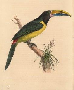 Green Aracari; Pteroglossus viridis from South America.