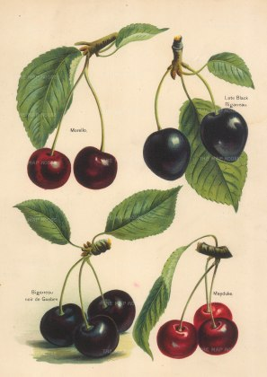 Wright: Cherries. 1891. An original antique chromo-lithograph. 8 x 10 inches. NATHISp7279w