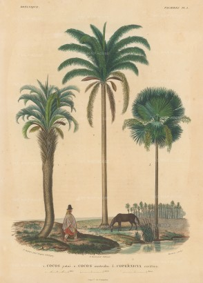 d'Orbigny: Palms. 1847. An original hand-coloured antique lithograph. 9 x 12 inches. [NATHISp7350]