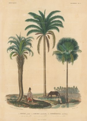 Palms (Attalea): Cocos yatai, Cocos australis and Copernicus cerifera with a Bolivian in traditional dress and a horse.