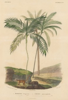 SOLD Palms (Attalea): Morenia fragrans and Cocos pityrophylla with a Coati beneath the trees.