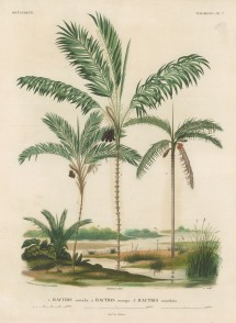 d'Orbigny: Palms. 1847. An original hand-coloured antique lithograph. 9 x 12 inches. [NATHISp7357]