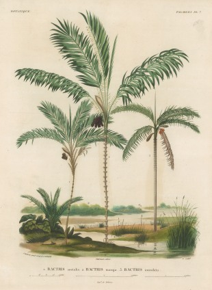 Bacris socialis, Bactris maraja and Bactris inundata within a scenic view. From d'Orbigny's eight year expedition to South America which preceded that of his rival, Charles Darwin.