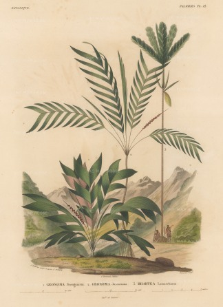 d'Orbigny: Palms. 1847. An original hand-coloured antique lithograph. 9 x 12 inches. [NATHISp7359]