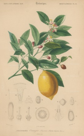 d'Orbigny: Lemon. 1849. An original hand-coloured antique lithograph. 6 x 9 inches. [NATHISp7364]