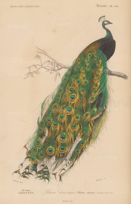 d'Orbigny: Peacock. 1849. An original hand coloured antique lithograph. 6″ x 9″. [NATHISp7371]
