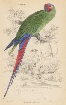 SOLD. Great Green Macaw.
