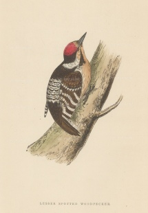 "Morris: Lesser Spotted Woodpecker. 1895. An original hand coloured antique wood engraving. 5"" x 8"". [NATHISp7382]"