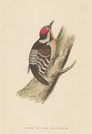 "Morris: Lesser Spotted Woodpecker. 1895. An original hand coloured antique wood engraving. 5"" x 8"". [NATHISp7382]"