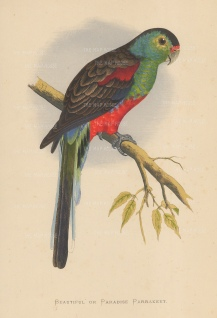 Paradise Parakeet (Parrot) indigenous to Australia and now extinct.