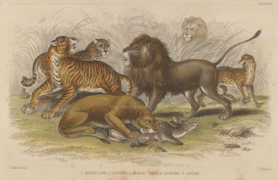 Lions: Asiatic Lion and Lioness, Bengal Tiger, Leopard and Jaguar.