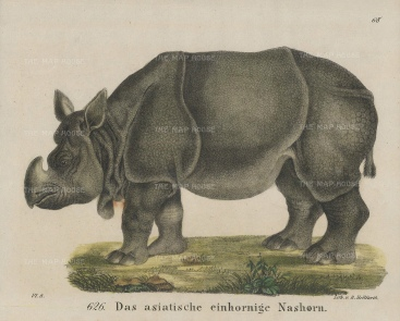 """Helfarth: Asian Rhinoceros. 1834. A hand coloured original antique lithograph. 7"""" x 6"""". [NATHISp7441]"""