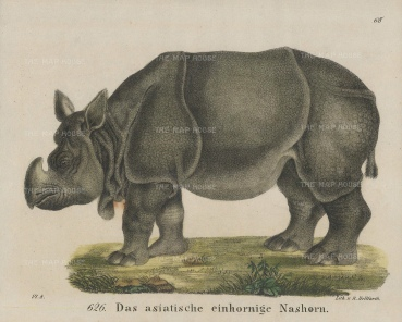 "Helfarth: Asian Rhinoceros. 1834. A hand coloured original antique lithograph. 7"" x 6"". [NATHISp7441]"