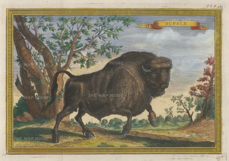 Bison: North American Buffalo having a gambol.