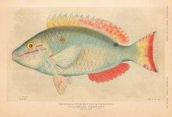 Gold Bridled Parrot Fish: Sparisoma aurofrenatum from the Bahamas.
