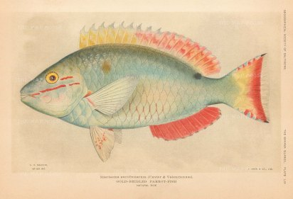 SOLD. Gold Bridled Parrot Fish: Sparisoma aurofrenatum from the Bahamas.