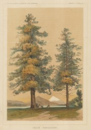 "USPRR Exp. & Survey: Ponderosa Pine. 1857. A hand coloured original antique lithograph. 7"" x 9"". [NATHISp7459]"