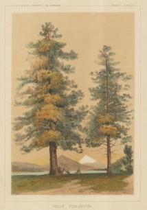 "USPRR Exp. & Survey: Ponderosa Pine. 1857. A hand coloured original antique lithograph. 7"" x 9"". [NATHISp7459]"