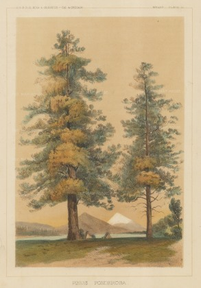 Ponderosa Pine: Pinus Ponderosa by the United States Pacific Rail Road Expedition & Survey.