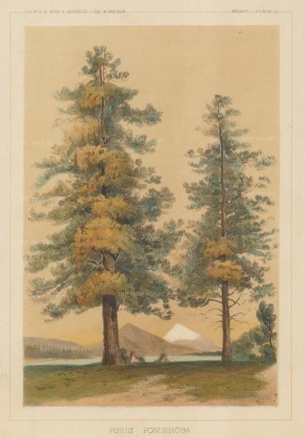 U. S. Survey: Pine Tree. NATHISp7459w