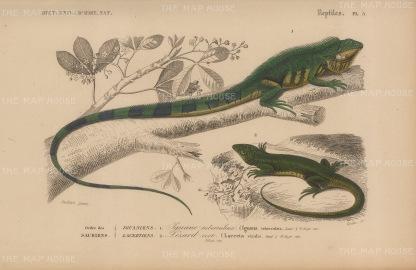 Iguana and Lizard: Large land Iguana, Iguana tuberculata and a Green Lizard, Lacerta viridus.