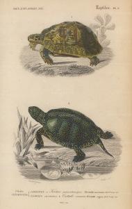 Turtle and Tortoise: African tortoise, Testudo mauritanica and the Common turtle, Cistudo vulgaris.