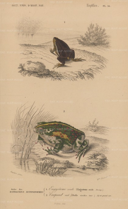 Toads: European Green toad, bufo viridis and Common Oval toad, engystoma ovale.