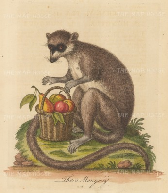 Mongoose of Madagascar with a basket of fruit: Pet of Mrs Kennon of the Royal Household.