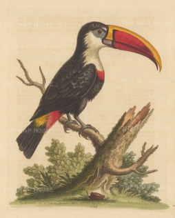 White throated Toucan of South America. By the 'Father of British Ornithology'.
