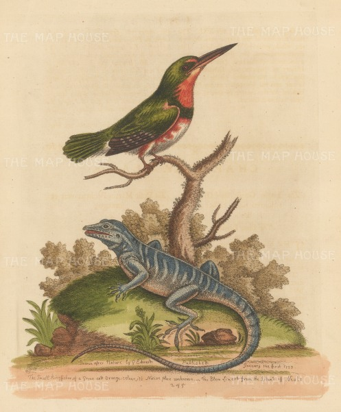 SOLD Eurasian Kingfisher with a Blue Iguana of Nevis. By the 'Father of British Ornithology'.