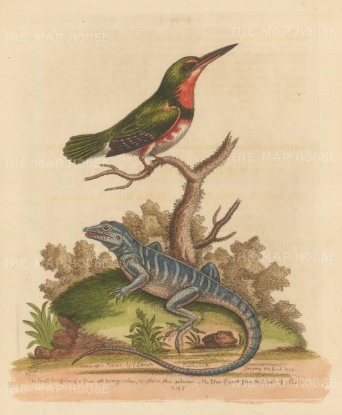 Eurasian Kingfisher with a Blue Iguana of Nevis. By the 'Father of British Ornithology'.