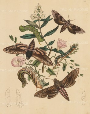 Moths and Caterpillars: With a variety of flowers. Pl 3.
