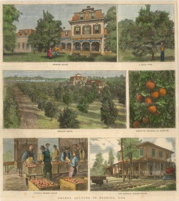 """Illustrated London News: Orange growing in Florida. c1880. A hand coloured original antique wood engraving. 9"""" x 10"""". [USAp4731]"""