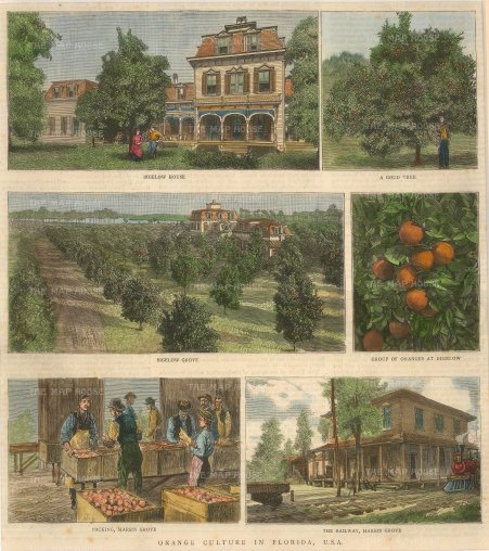 "Illustrated London News: Orange growing in Florida. c1880. A hand coloured original antique wood engraving. 9"" x 10"". [USAp4731]"