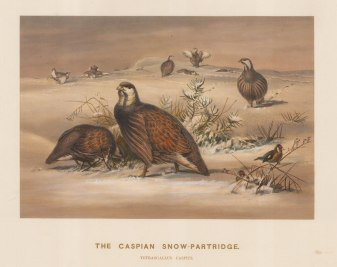 Caspian Snow Partridge. Tetraogallus caspius. Drawn from life at the Zoological Society's Vivarium..Plate XI