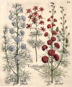 Consolida regalis simplici flore Rubro, Consolida regalis flore pleno albo and Consolida regalis flore pleno Rub.