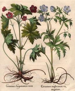 Geranimum Sanguinarium maius, Geranium anglicanum va, riegatum.