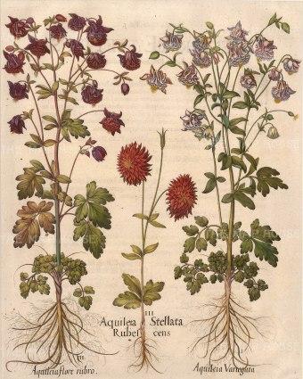 Aquilegia Stellata Rubescens, Aquilegia rubro and Aquilegia variegata.