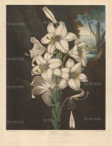 White Lily with yellow margined leaves and classical temple alluding to it being cherised by the Ancient Greeks and later the Romans.