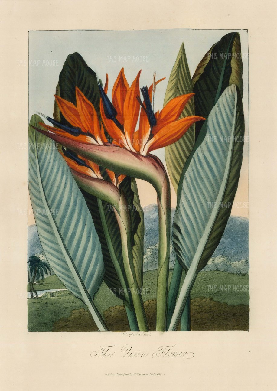 Queen Flower (Bird of Paradise):Set in a romanticized landscape. Native to South Africa, it was brought to the Royal Botanic Gardens in the 1780s.