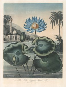 The Blue Egyptian Water Lily set in a romanticised landscape with Aboukir and the Nile, alluding to the recent victory of Nelson over Napoleon.