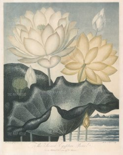 The Sacred Egyptian Bean (Lotus) set in a romanticised landscape on the Nile with Pyramids. Revered as the Sacred Lotus of the East, it no longer grows in Egypt.