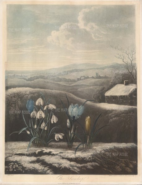 Snowdrop:With yellow and purple crocuses set in a wintry English landscape.