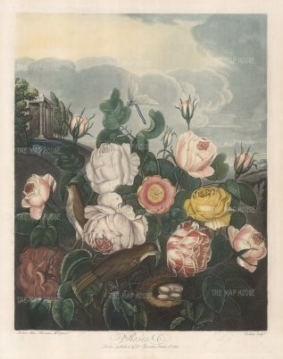 Unique Blanche, Sulpher Rose, three varieties of cabbage rose and two unidentified types with nesting birds and a classical temple.