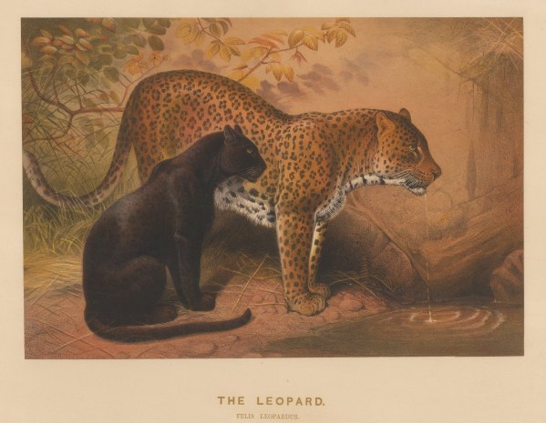Leopards: Felis leopardis. The Panther from Malaysia and the Leopard from Morocco. Drawn from life at the society's Vivarium.