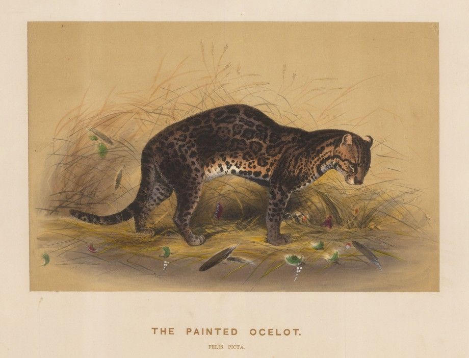 "Wolf:  Ocelot. 1861 An original colour antique lithograph. 15 x 11"". [NATHISp7494]"