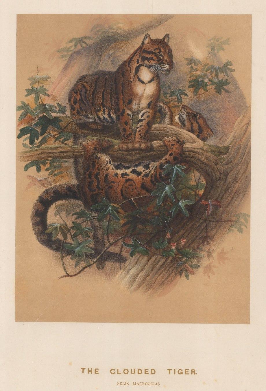 "Wolf: Clouded Tiger (Clouded Leopard). 1861 An original colour antique lithograph. 11 x 15"". [NATHISp7495]"