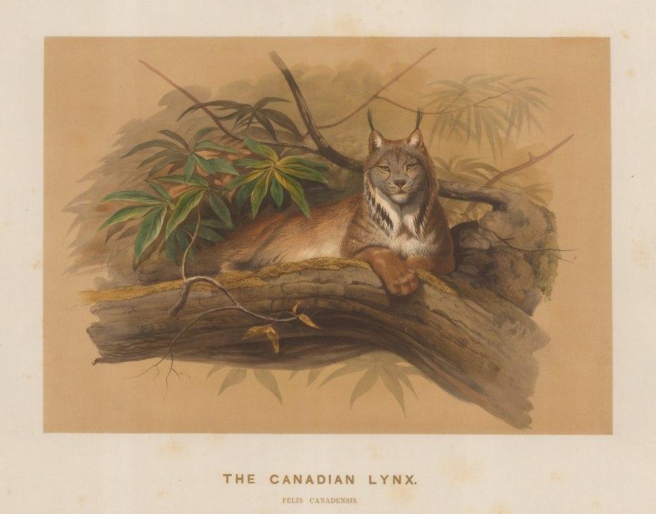 "Wolf: Lynx. 1861 An original colour antique lithograph. 15 x 11"". [NATHISp7497]"