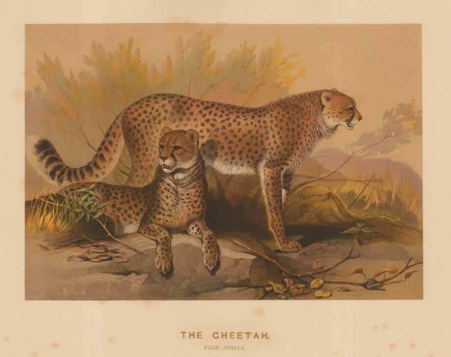 """Wolf: Cheetah. 1861 An original colour antique lithograph. 15 x 11"""". [NATHISp7498]"""